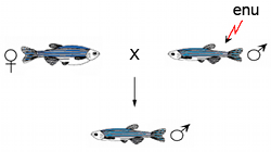 Zebrafish Mutation Project mutagenesis schematic